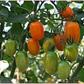 好甜的橙蜜蕃茄.jpg