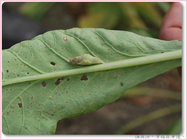 毛毛蟲的蛹.jpg