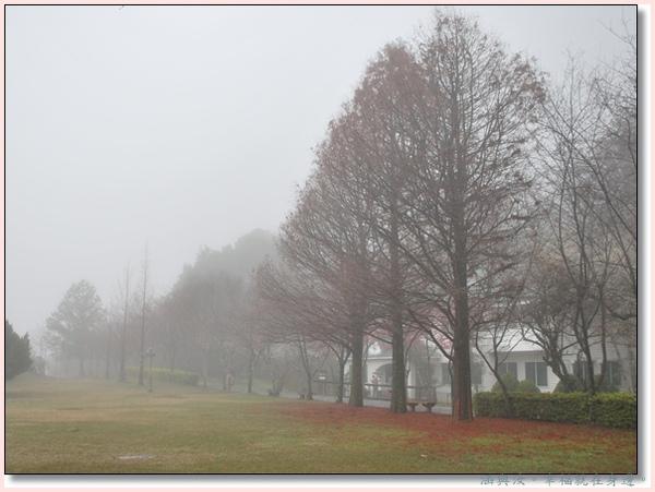 霧中的落羽松.jpg