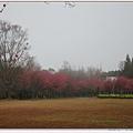 美麗的櫻花林.jpg