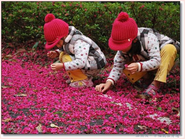 奧萬大撿著櫻花.jpg