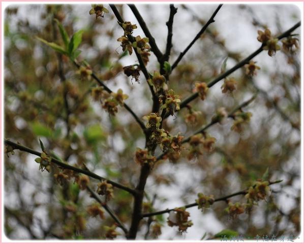 枯黃的梅花瓣.jpg