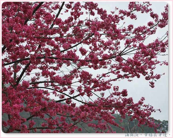 好美的櫻花.jpg