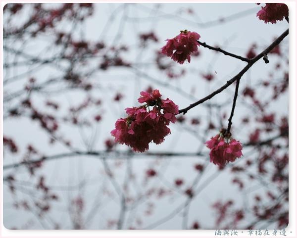 雨將櫻花都打低頭了.jpg