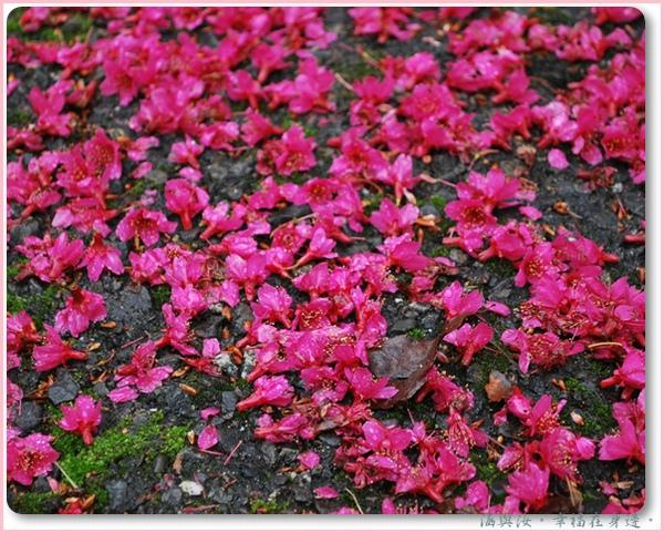 滿地櫻花瓣.jpg