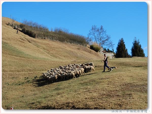 今天的羊真不受控制.jpg