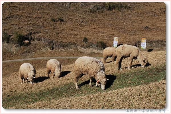 還是看看可愛的羊.jpg