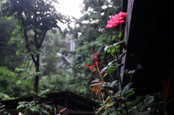 1山行玫瑰.JPG