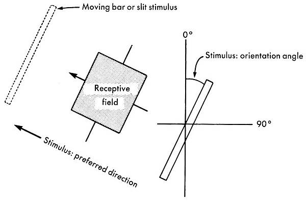 receptive field dependency