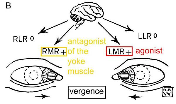 antagonist of the yoke muscle