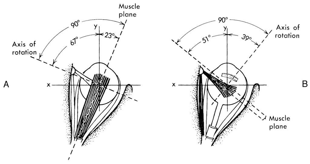muscle angles