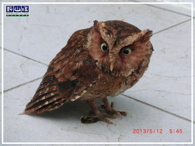 貓頭鷹-1
