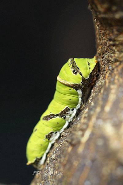 大鳳蝶幼蟲