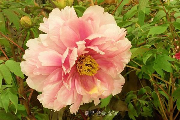 牡丹花   品名:七福神