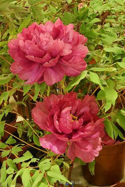 牡丹花   品名:芳紅
