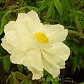 牡丹花   品名:蓮鶴