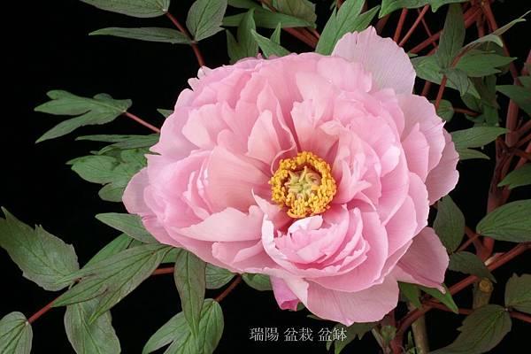 牡丹花   品名:八千代椿