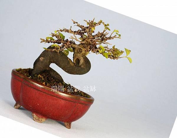 預設  老鴨柿  種植角度