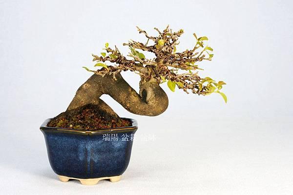 老鴨柿小品盆栽  飄長 17 cm 高 11 cm 深 14 cm