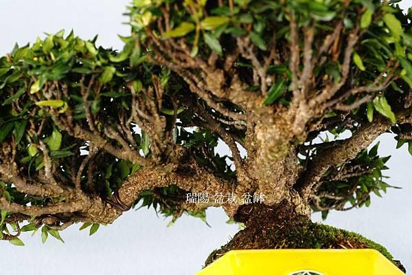 縮緬葛  年前的選枝、疏枝
