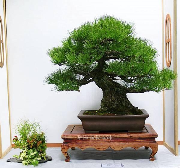 2012年 漢風盆景展 (3)黑松 大品盆栽