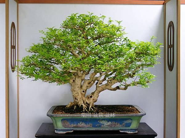 2012年 漢風盆景展 (2)七里香大品盆栽