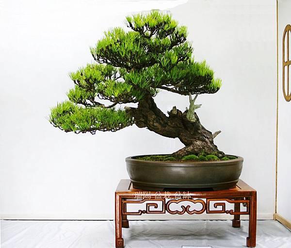 2012年 漢風盆景展 (5)黑松 大品盆栽
