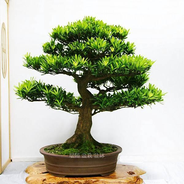 2012年 漢風盆景展 (4)羅漢松 大品盆栽