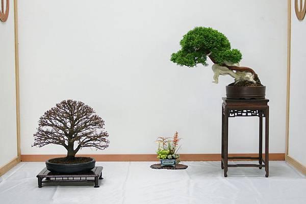 席飾組合:櫸樹                               飾草                     系魚川真柏