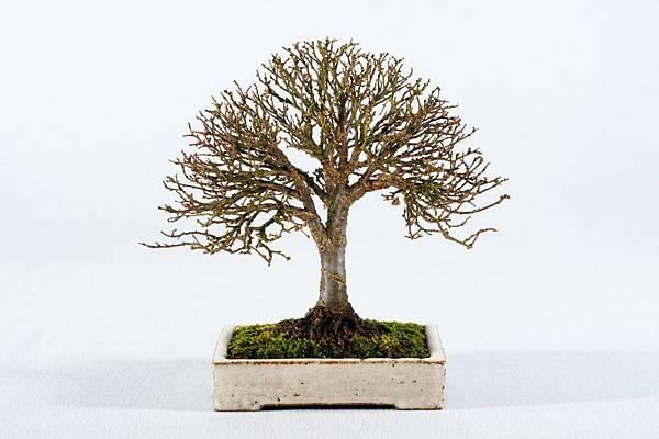 櫸樹   寬 18 cm 高 18.5 cm 深 15 cm