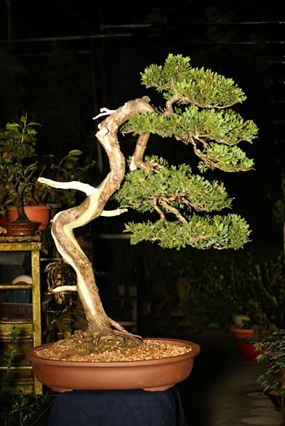 真柏盆栽  飄長 56 cm 高 73 cm 深 45 cm