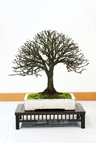 櫸樹  標準樹型盆栽