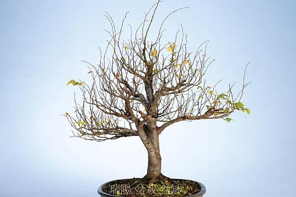櫸樹  剪枝換盆前  右側面