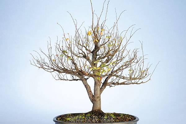 櫸樹  剪枝換盆前  背面