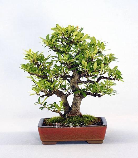 狀元紅盆栽  寬 27 cm  高 26 cm  深 22 cm
