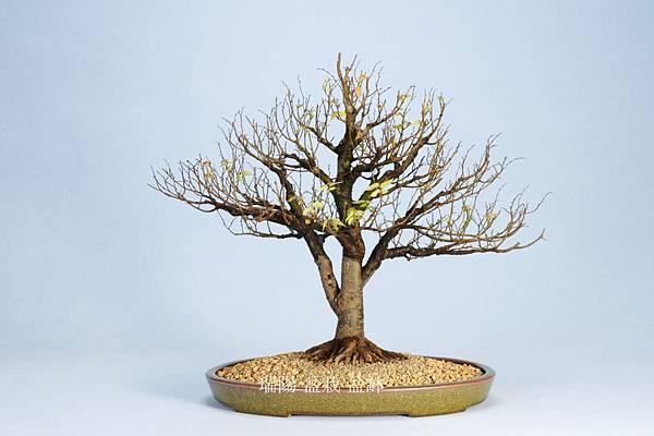 櫸樹  剪枝換盆後  背面