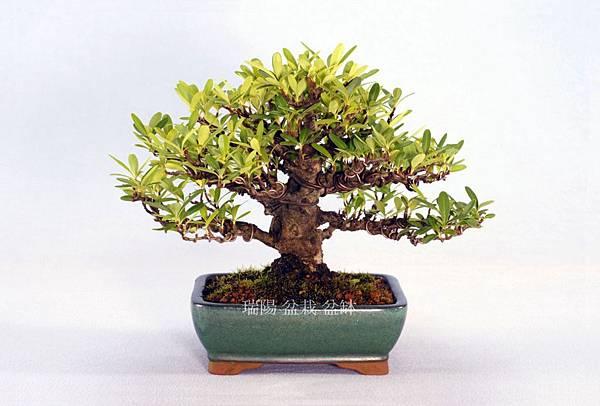 狀元紅盆栽  寬 25 cm  高 17 cm  深 23 cm