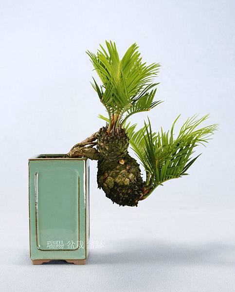琉球蘇鐵   盆栽  母球徑 7 cm  (葉寬 24 x 24 x 24)