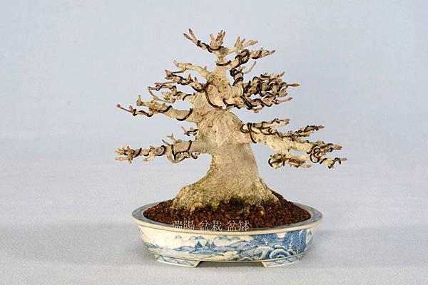 銀楓盆栽 寬 18cm 高 15cm 深 18cm 頭基 8cm
