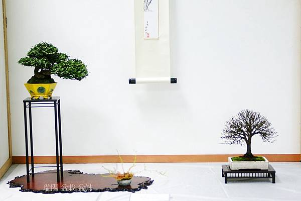 席飾組合:縮緬葛、櫸樹盆栽