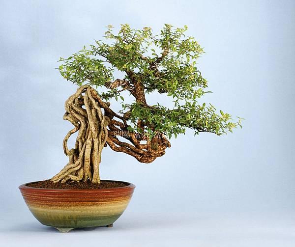 李氏櫻桃盆栽  寬 55 cm 高 47 cm 深 48 cm