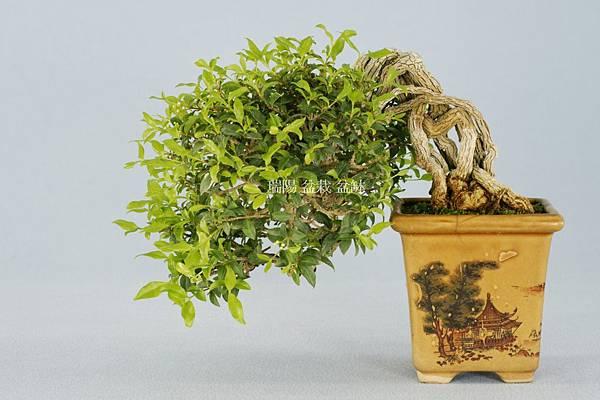李氏櫻桃   半懸崖小品盆栽  飄長 20 cm 高 15 cm 深 18 cm