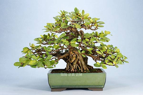 大葉蔓榕盆栽  寬 65 cm.  高 38 cm.  深 55 cm.