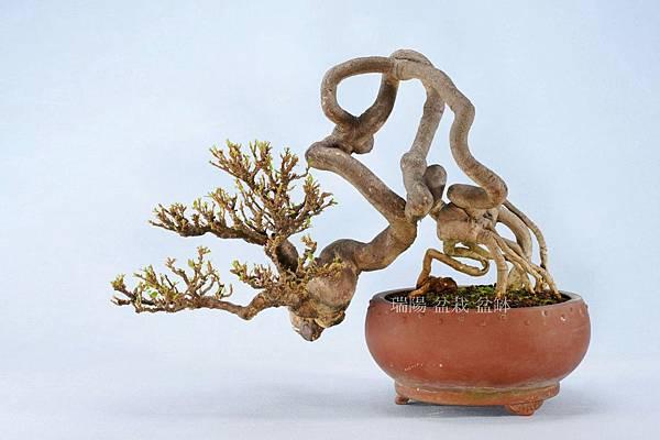 九重葛  盆栽  飄長 53 cm 寬 37 cm 高 34 cm
