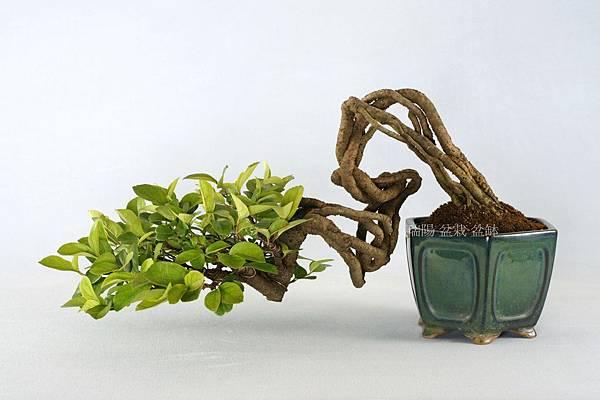 莢迷 盆栽  飄長 36 cm 寬 26 cm 高 28 cm