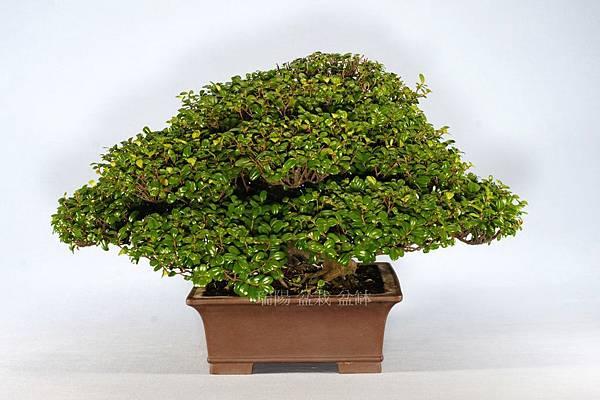 翠米茶  剪枝前  左側面