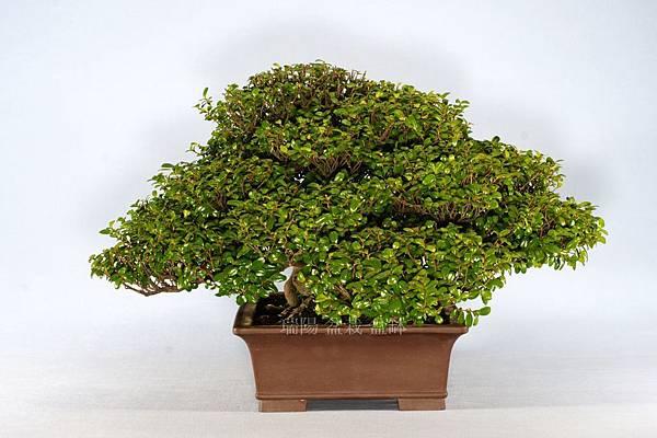 翠米茶  剪枝前  右側面