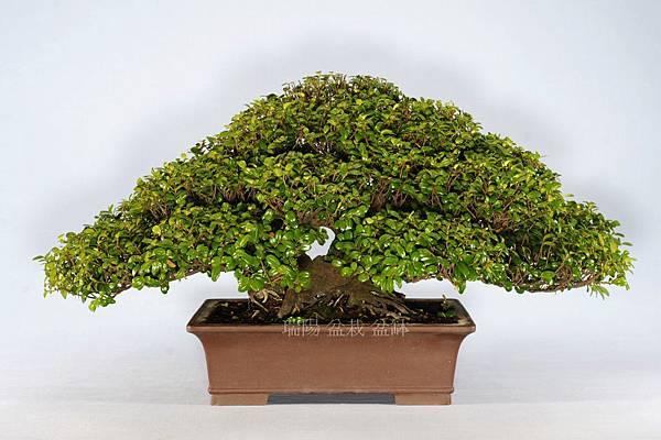 翠米茶  剪枝前  背面