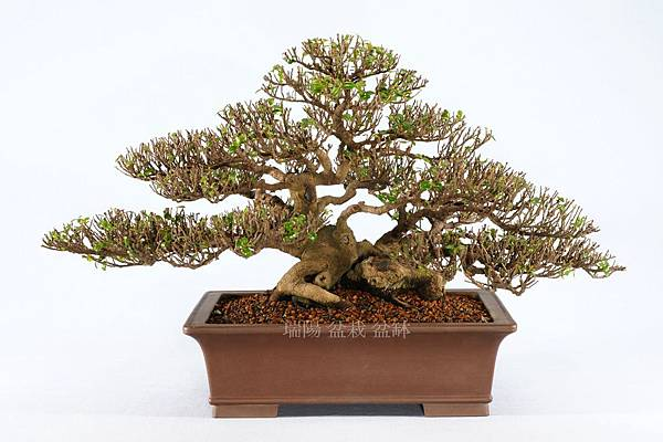 翠米茶 寬 70 cm 高 35 cm 深 62 cm