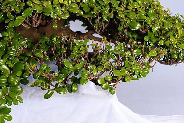 翠米茶  疏枝  範例